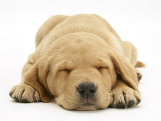 1140682~Domestic-Labrador-Puppy-Canis-Familiaris-Sleeping-Posters.jpg